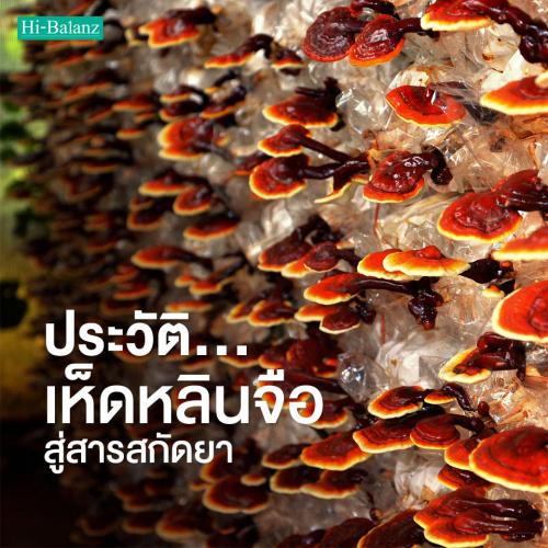 คุ้ยประวัติเห็ดหลินจือ (Reishi) สู่สารสกัดยา