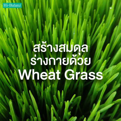 สร้างสมดุลร่างกายด้วยต้นอ่อนข้าวสาลี (Wheat Grass)